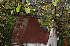 How to grow grape Vines, they live to be 50-100 years old..