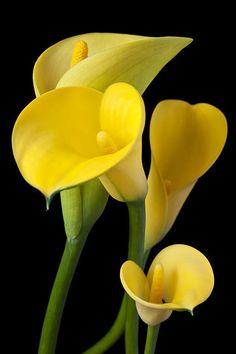 Yellow Calla Lillies
