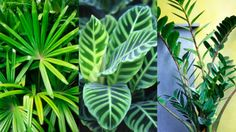 Plant guide: The best indoor plants. Prayer plant.