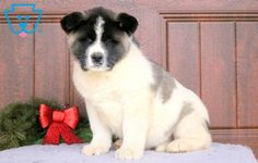 This charming Akita puppy has a wonderful personality. She is beautiful, friendly social, raised with children and full of life. This puppy is AKC Akita Puppies For Sale, Cute Animals, Pets, Diamond, Pretty Animals, Cutest Animals, Cute Funny Animals, Diamonds, Adorable Animals