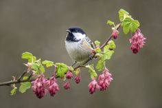 Coal Tit on Spring Blossom by Chris Stephens on 500px