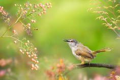 Who Is Looking At Who?   誰在看著誰? 鳥類名稱 Bird Name:Yellow-bellied Prinia(Breeding plume)  灰頭鷦鶯繁殖羽 學名 Scientific Name: Prinia flaviventris. 科名 Family: 扇尾鶯科(Cisticolidae). 鷦鶯屬(Prinia flaviventris)  圖像大小 Image Size : 6000x4000 pixel My Facebook page : https://www.facebook.com/fuyi.chen.9