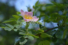 wild rose blooms. pink rose.
