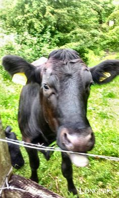Ethel the cow does her world famous Miley Cyrus impersonation.  #selfie #model #fitness #diet #celebrity