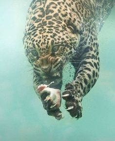 "The name Jaguar originated from the Native American word 'Yajuar' meaning ""He who kills with one leap"". Unlike many other big cats, Jaguars are extremely good swimmers 🐆 Photo by Source Nature Animals, Animals And Pets, Funny Animals, Cute Animals, Wildlife Nature, Prey Animals, Scary Animals, Happy Animals, Wild Animals"