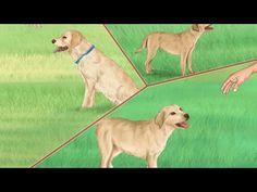 What Labrador Retriever Are Used For  How to Care for a Labrador Retriever