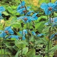 m. betonicifolia poppy  plant in masses  Perennial  Blue  Grows 2 to 4 ft tall  Part shade  Hardy zones 3 to 8