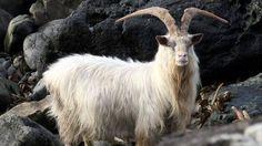 Scottish wildlife: Scotland's Best B&Bs: 4 & 5 star accommodation #scotland #wildlife #scottish #animals #mountain #goat