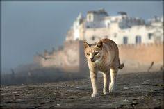 The cat by Alain Bachellier on 500px  Les chats sont nombreux dans le port d'Essaouira au Maroc où ils trouvent une nourriture abondante dans les déchêts rejetés par les pêcheurs.
