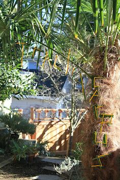 Trachycarpus fortunei, Seattle WA