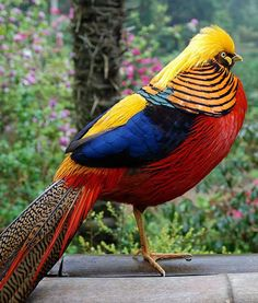 GOLDEN PHEASANT   Family: Phasianidae  Habitat: Forests and mountains of Western China  Fun Fact: The pheasant is able to fly in short bursts, but is rather clumsy in the air, so the bird spends most of its time on land.