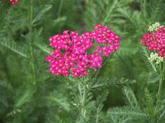 """cerise queen yarrow"""