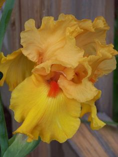 Iris (Iris 'Tumalo Sunset') uploaded by mattsmom