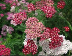 Yarrow is your secret weapon in a perennials garden: it requires little water or maintenance and will bloom all summer if you keep deadheading it. Drought Resistant Plants, Modern Wedding Flowers, Beneficial Insects, Edible Flowers, Edible Plants, Edible Garden, Gardening Tips, Sustainable Gardening, Garden Plants