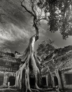 Rilke's Bayon. Beth Moon's stunning images capture the power and mystery of the world's remaining ancient trees. These hoary forest sentinels are among the oldest living things on the planet and it is desperately important that we do all in our power to ensure their survival. I want my grandchildren – and theirs – to know the wonder of such trees in life and not only from photograpshs of things long gone. Beth's portraits will surely inspire many to help those working to save these…