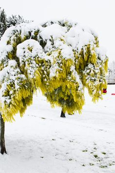 Snow covered lush green tree in winter...photo by Miss Penny
