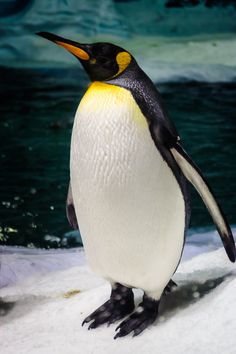 A tall emperor penguin stand tall at the Sea World Australia in the city of Gold Coast. Animals Of The World, Animals And Pets, Cute Animals, Wild Animals Photography, Wildlife Photography, Penguin Images, King Penguin, Majestic Animals, Sea And Ocean