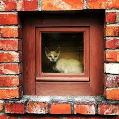 #latvia #eurotrip #cat #uglycute #grumpycat #badass #blueeyes #likemonalisa #window #brickwall #ShotoniPhone