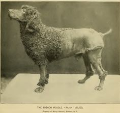 1895 poodle 'Rajah'.   A very different look