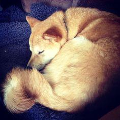 Dogs Like Shiba Unis
