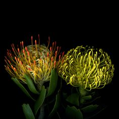 The Leucospermum 'Veldfire'(left) and Leucospermum cordifolium (right) are proteas and are indigenous to South Africa.   Some of the most spectacular species in the diverse vegetation are the proteas of the Cape region .   Protea is both the botanical name and the English common name of a genus of flowering plants, sometimes also called sugarbushes (SUIKERBOSSIE).  ~Photo by Magda Indigo~