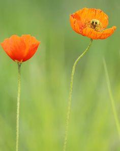 Huomentaaaaa! Joutomaan kuningatar (ja seuranainen).| Mooooorning! Queen of waistland (and her maid). (May 27 2016) . Epäilemättä pihakarkulainen joutomaalla. Viime vuonna yksi. Nyt kaksi. . #kevätseuranta #suomenluonto #finnishnature #havaintokirja #yleluonto #uusiluontokuva #suomenkasvit #kasvi #kukka #unikko#instaflower #flowerstalking #flowersandmacro #flowersofinstagram #flowersoftheday #poppy #poppies #ig_flowers #petal_perfection #petals #natureaddict #natureart by tuulikkipiikkila