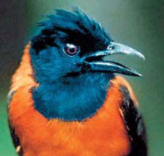 Pitohuis are brightly coloured, omnivorous birds. The skin and feathers of some pitohuis, especially the Variable and Hooded Pitohuis, contain powerful neurotoxic alkaloids of the batrachotoxin group (also secreted by the Colombian poison dart frogs, genus Phyllobates)