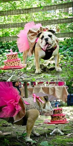 Bulldog Birthday Party! Puppy Celebration! Dog images by Jeanne Taylor Photography / Pet Portraits ♡