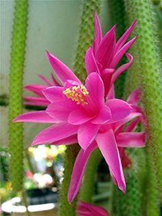 Rattail Cactus - Aporocactus