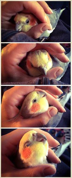 Peanut cuddles <3 #cockatiel