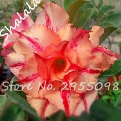 Pink With Red Petals Pattern Desert Rose Seeds Aerobic Potted Garden Balcony Potted Bonsai Seeds 3 PCS The Budding Rate 100 % #Affiliate