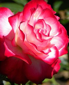 ~Perfect Rose ( fire and ice ) ..