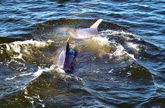 Dolphins in Orange Beach AL