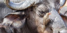 Oxpecker - This is natures own pest controle. Notice all the ticks on the buffalo, the oxpecker is doing it a favour to eat off the ticks