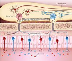 Sensory neurons in the nose are activated by specific odorants or groups of odorants (different types are indicated by different colours), and transmit this information to mitral cells, another type of neuron in the brain's olfactory bulb. The transmission takes place in spherical structures called glomeruli, each of which receives input from a single type of sensory cell. Angelo et al.4 report that mitral cells that are linked to the same glomeruli are functionally more similar to each…