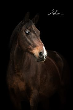 Dark brown horse in portrait against black background Riding Hats, Horse Riding, Horse Tail, Types Of Horses, Brown Horse, Equestrian Outfits, Background Pictures, Horse Photography, Wild Horses