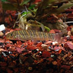 1000 images about loach lovliness on pinterest clowns tropical