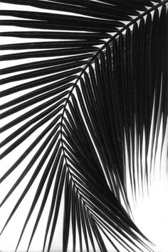 Palm tree branch in black and white.