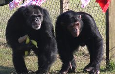 Save the Chimps provides safety, privacy, lifetime care, freedom from exploitation, and the best captive care possible to the chimpanzees who live at the Sanctuary.