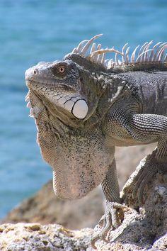 Bonaire - iguanas love the land too!