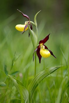 Wunderschöne Frauenschuh-Orchidee