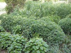 Fűszer és gyógynövények Permaculture, Health, Plants, Gardening, Health Care, Lawn And Garden, Plant, Salud, Planting