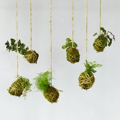 Inspired by the Japanese bonsai technique of kokedama, this collection of tiny foliage plants sprouts from string-bound balls of soil and moss.- Set of 6- Foliage plants, moss, twine, soil, fishing line- Indoor use only- Prefers medium-to-full, indirect sunlight; do not place in direct sun- Grows best at temperatures above 65F- When weight of ball is reduced by half, water by soaking moss ball thoroughly in sink; let excess water drain. Do not let kokedama become completely dry.- Plants…