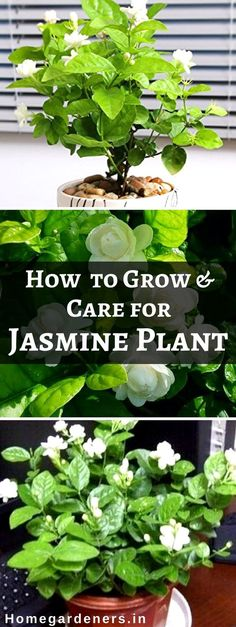 to Grow and Care for Jasmine Plant Here are some possible factors that will definitely help you to grow jasmine plants with seeds in your home with much care.Here are some possible factors that will definitely help you to grow jasmine plants with seeds in Jasmine Plant Indoor, Indoor Flowering Plants, Garden Plants, House Plants, Garden Beds, Indoor Flowers, Big Garden, Potted Plants, Gardens