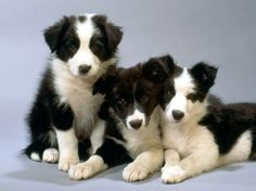 Border Collie Puppies :)
