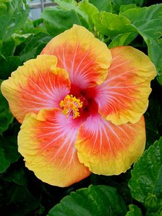 hibiscus flower bonsai flower 24 Colors to choose plant for home garden Tropical Flowers, Hawaiian Flowers, Hibiscus Flowers, Exotic Flowers, Amazing Flowers, Beautiful Flowers, Cactus Flower, Hibiscus Tree, Lilies Flowers