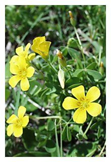 Florida Native Plant Society Blog: Florida's Native Shamrocks