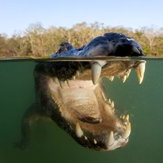 A close-up picture of a caiman underwater in Pantanal, Mato Grosso, Brazil. Photo taken by Swiss photographer Franco Banfi