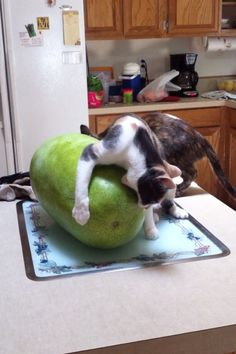 This cat going about watermelons entirely wrong. | 27 Cats Who Will Make You Question Evolution