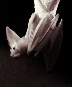 """Ghost bat (Macroderma gigas), also known as the false vampire bat is native to Australia. Named for the extremely thin membrane of its wings that makes it appear ghostly at night. They have grey fur on their backs and pale grey or white fur on their undersides. They have long, narrow wings, but no tail, averaging 4.3"""" in length. They have large ears for long distance hearing, and very sharp teeth so they can attack prey."""